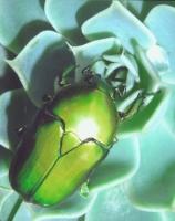 beautiful-scarab creepy crawly.jpg