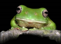 Green_Tree_Frog.jpg
