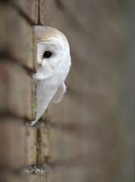 White-Owl.jpg
